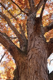 fall oak tree for docs
