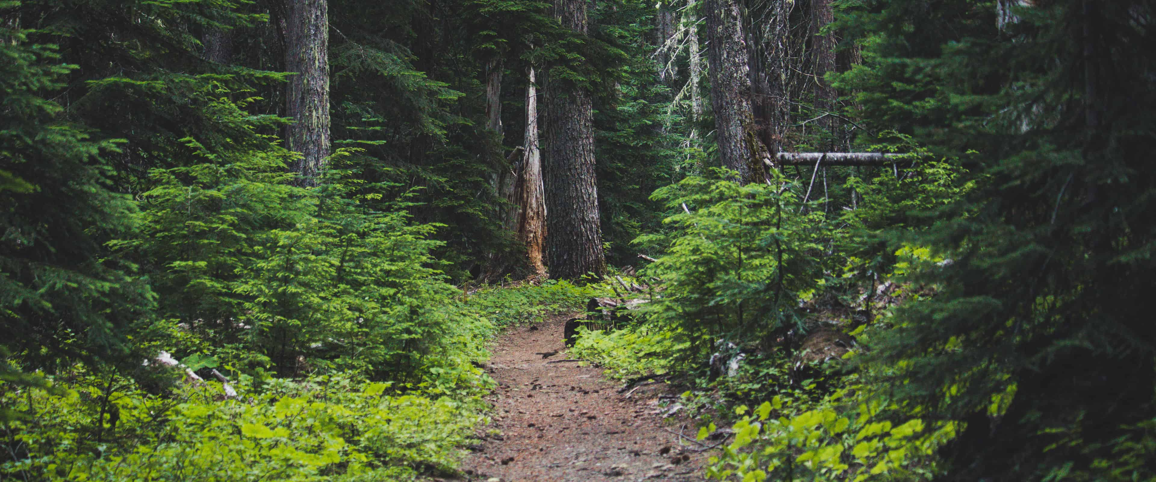 Single track trail through evergreen forest.